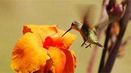 Die CANNA Blume