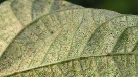 Spinnmilbe - Schädlinge & Krankheiten